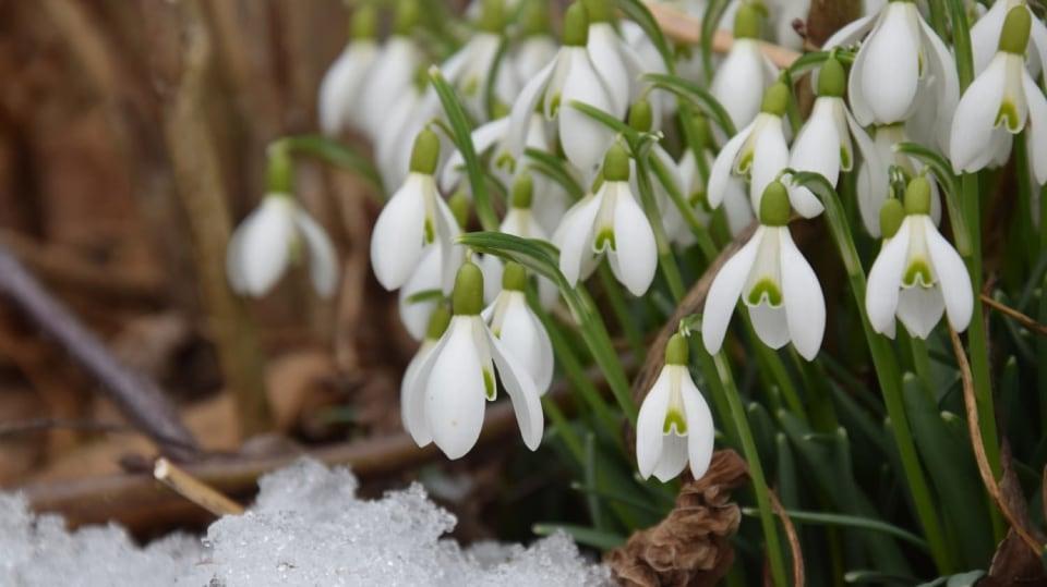 Také už u vás kvetou sněženky?