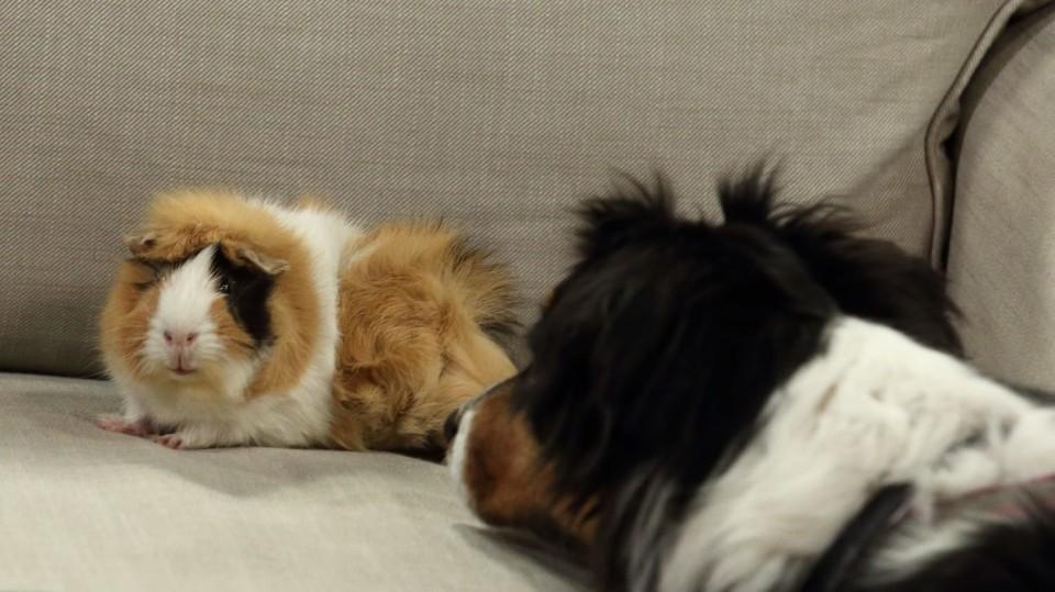 Někteří psi tolerují i hlodavbce nebo kočky
