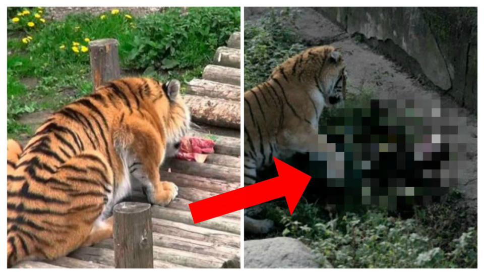 Ženu napadl tygr
