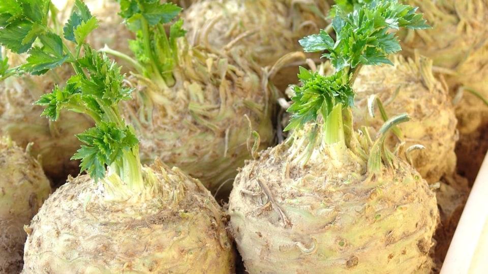 Chcete mít kvalitní celer? Vypěstujte si vlastní sadbu: celer bulvový, poloraná odrůda ALBÍN
