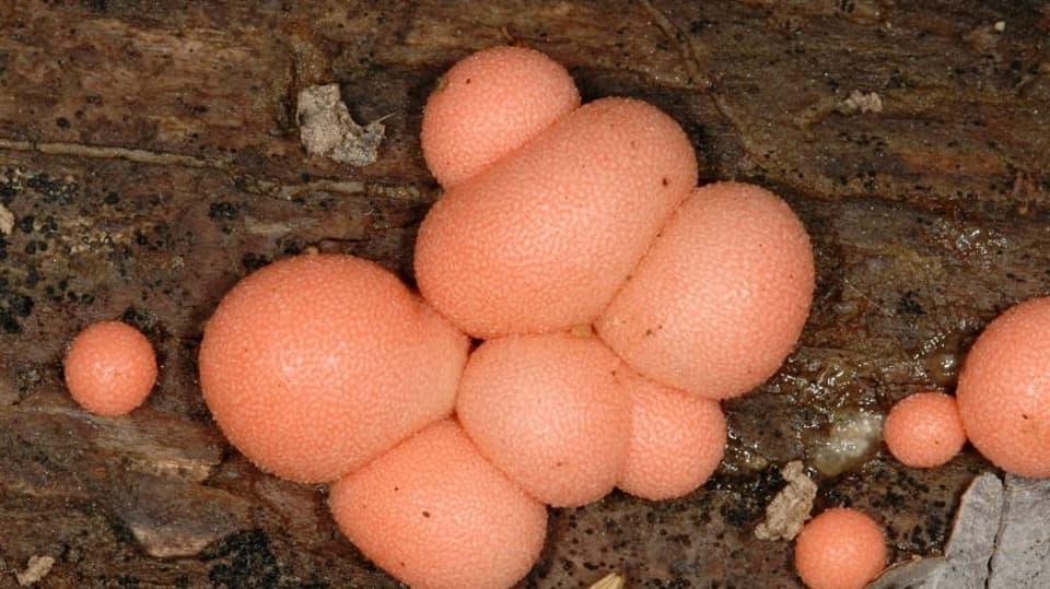 Vlasatka okrová (Trichia varia) náleží do třídy vlastních hlenek (Myxomycetes), řádu    vlasatkotvarých (Trichiales), čeledi vlasatkovitých (Trichiaceae)