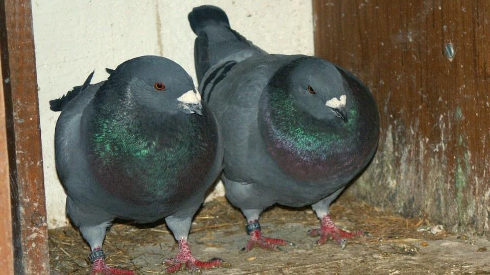 Gigant: Jeden z největších holubů není dobrý letec