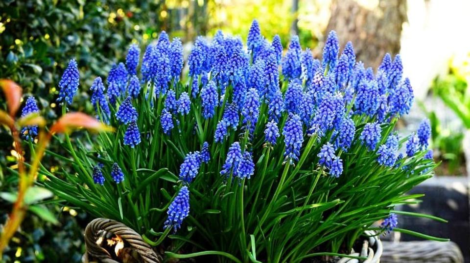 Rozkvetlé jaro na zahradě bez modřenců? Nemyslitelné!