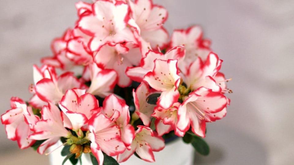 Nejkrásnější vánoční květiny: azalka (Rhododendron simsii)