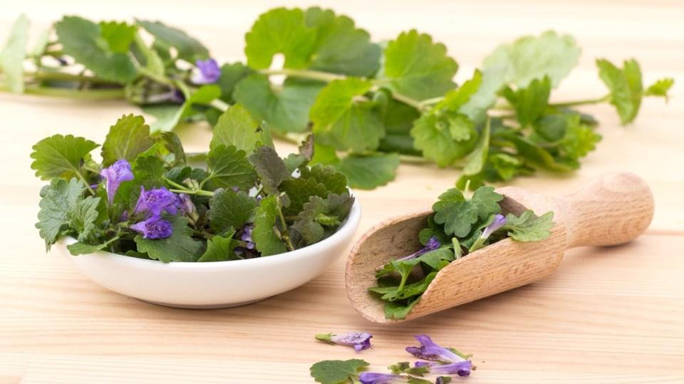 Popenec obecný (Glechoma hederacea) řeší problémy s únavou či trávením jako léčivá bylinka i zelené koření, které by nemělo chybět ve velikonoční nádivce