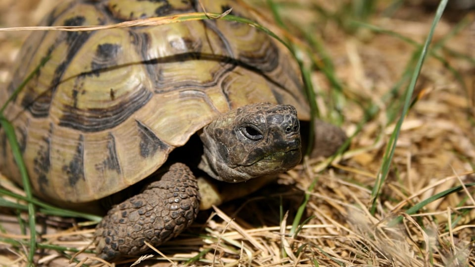 Samec želvy zelenavé (Testudo hermanni)
