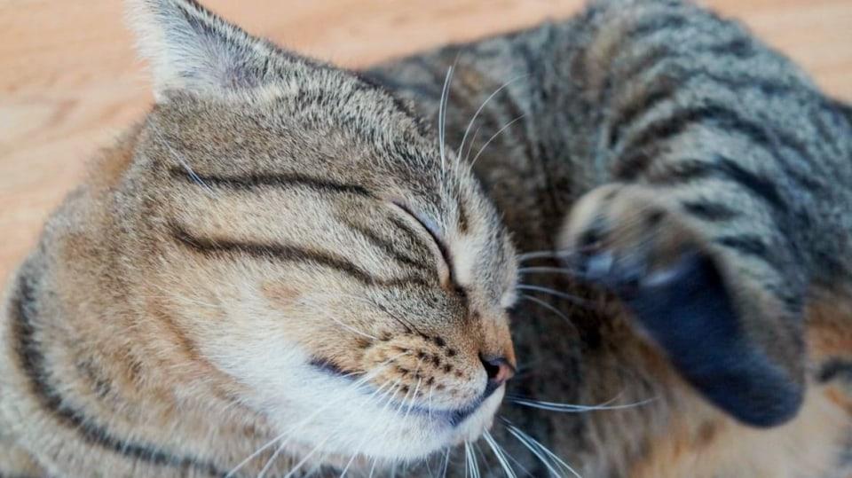 Sametka podzimní umí potrápit zvířata i lidi