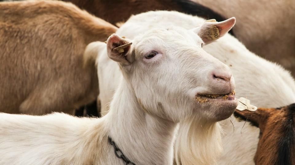 Kozy jsou chytré, zvědavé, mlsné a každá je osobnost: Kozí plemena