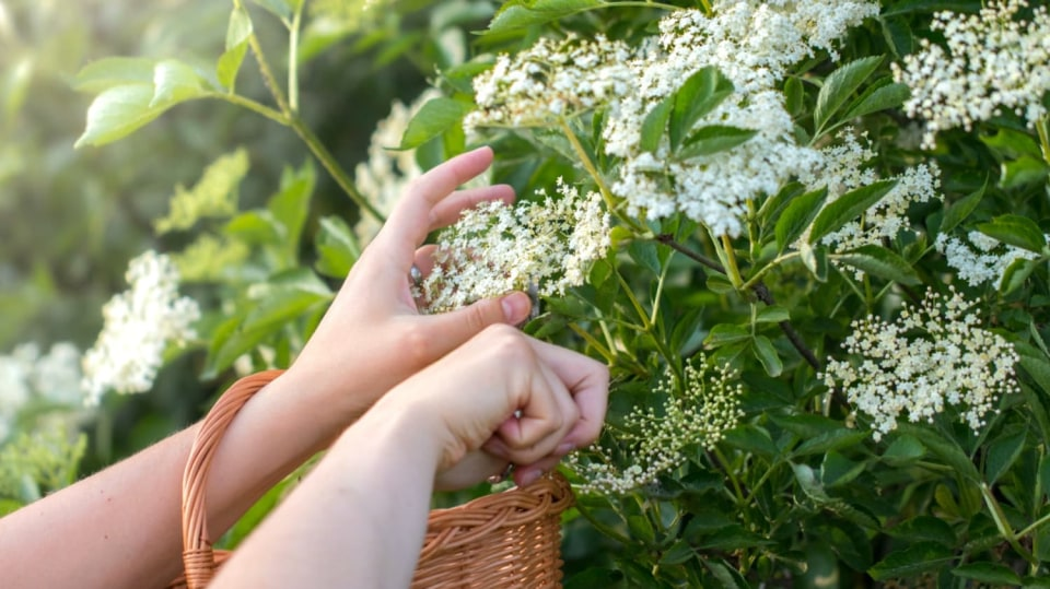 Když chcete zdravě zhubnout, nenechte si ujít květy černého bezu (Sambucus niger)
