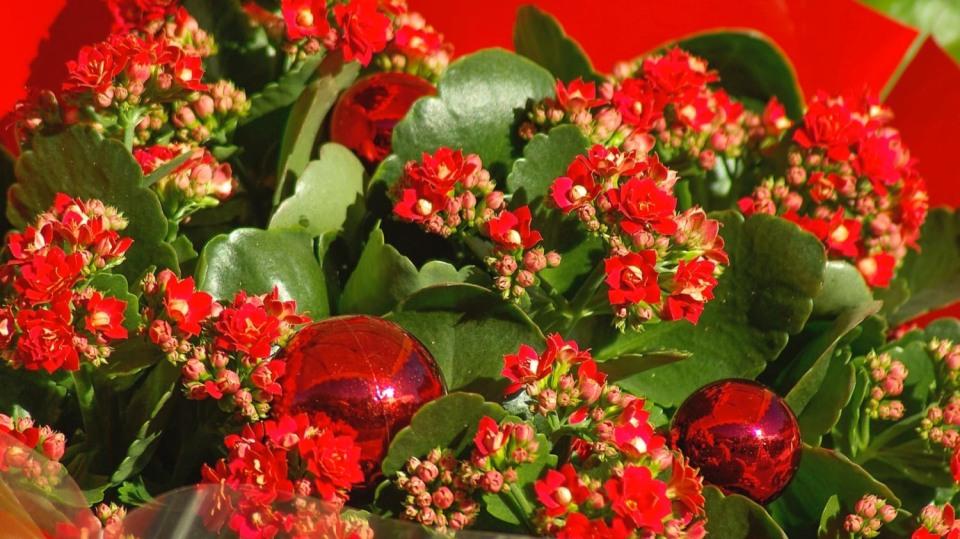 Nejkrásnější vánoční květiny: kalanchoe neboli kolopejka