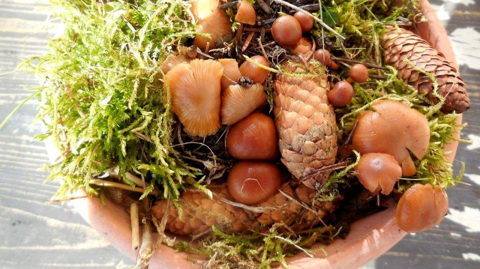 Jak pěstovat lesní houby doma za oknem? Houbová minizahrádka s penízovkou smrkovou