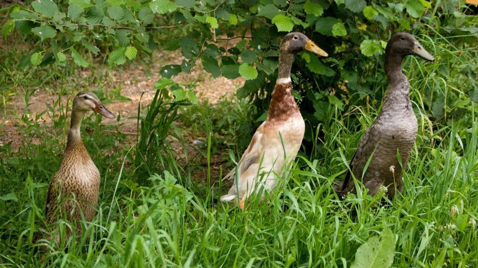 Indický běžec: podivuhodná kachna, která miluje plzáky a za jeden den jich spořádá skoro kilo 1
