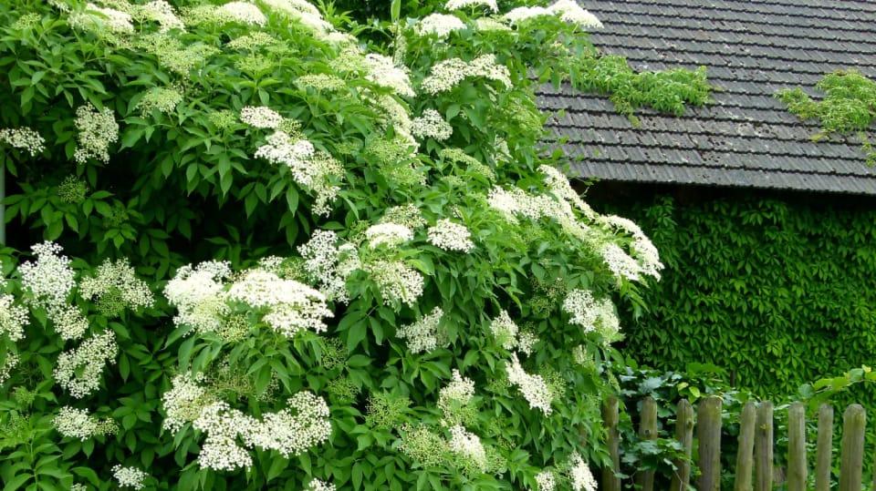 Jak udělat z čerstvých bezových květů sirup, ocet nebo čaj  6