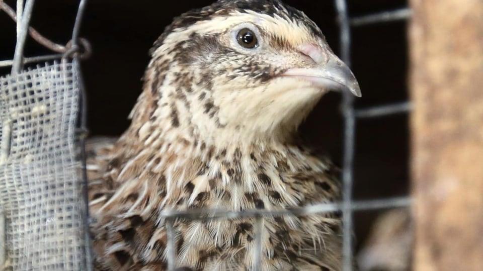 Proč jíst křepelčí vajíčka: křepelka snese ročně až 320 vajec