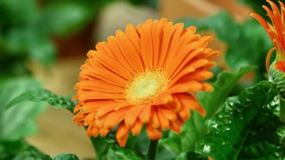 Barevné gerbery: Marnivé krásky v květináči 4