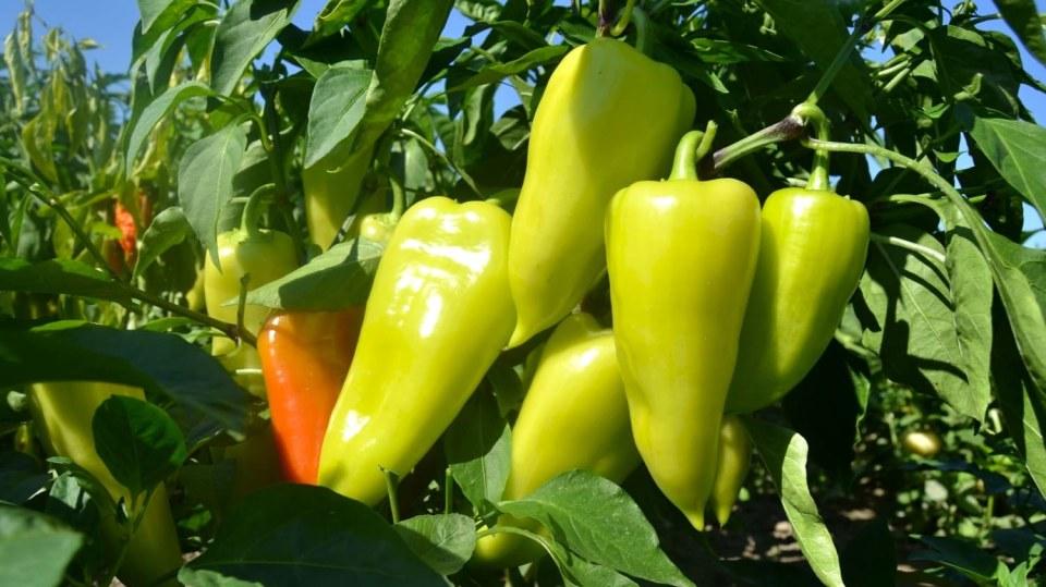 Vypěstujte si letos papriky doma. A začněte hned teď!
