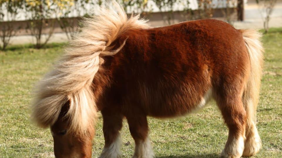 Shetlandský mini pony 2