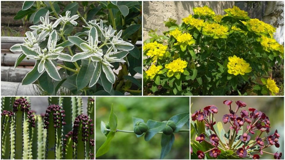 Pryšec (Euphorbia): Rod rostlin, ronících při poranění jedovatou mléčnou mízu, latex