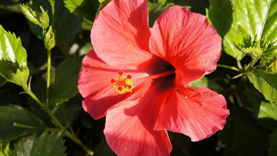 6 nečekaných důvodů, proč mít doma kytky: ibišek (Hibiscus)