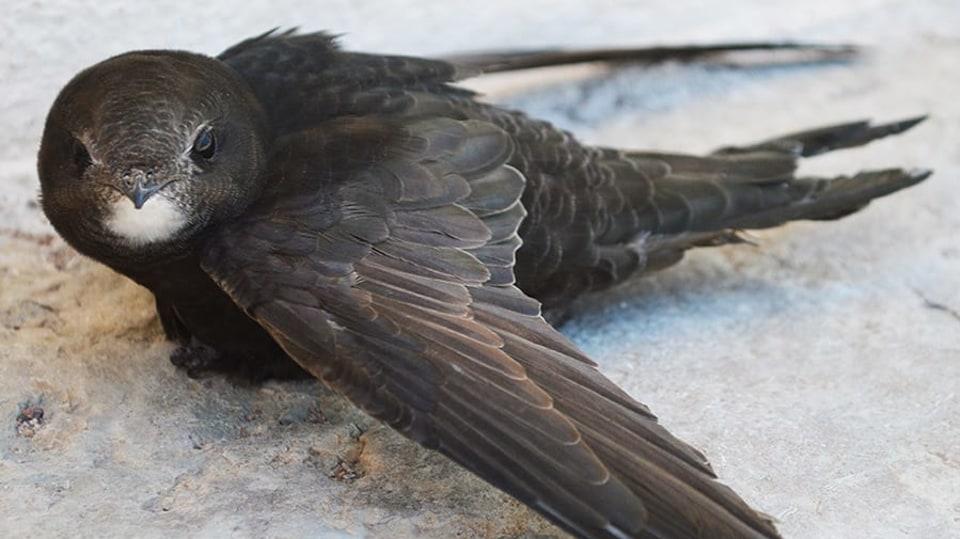 Mláďata rorýse obecného po opuštění hnízda létají bez přistání až 21 měsíců