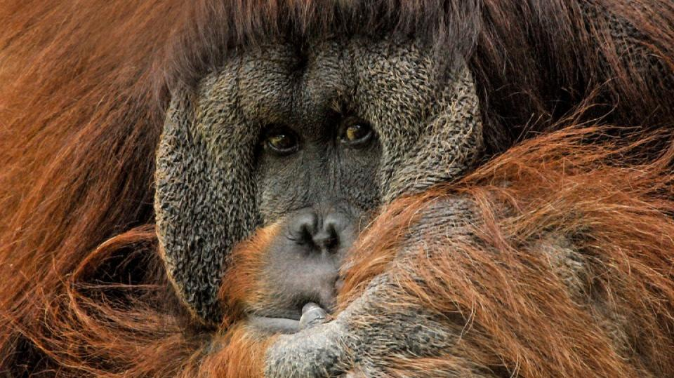 Orangutan v zajetí