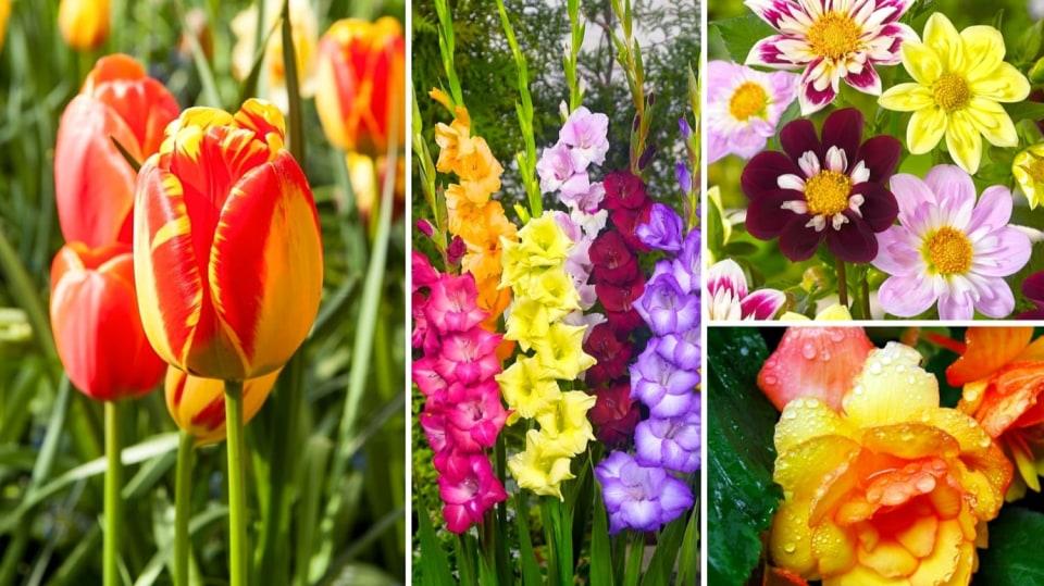 Tulipány, mečíky, jiřinky, begónie: Cibule, nebo hlízy? Víme, jak to je!