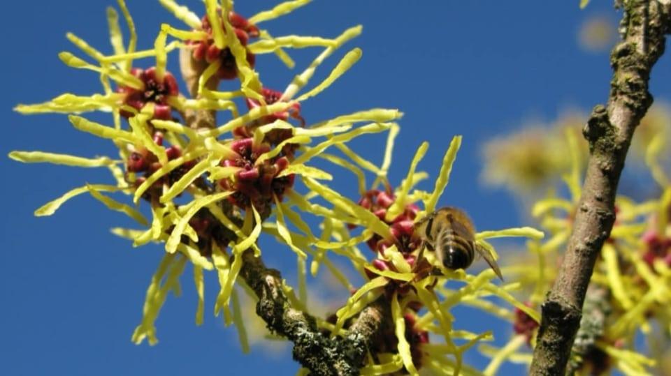 Lýkovec, vilín a zimokvět: Víte, jak pěstovat tři nejrychlejší posly jara? Rozkvetlý vilín (Hamamelis)