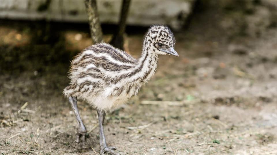 Přání pro šťastný život emu Amu 1