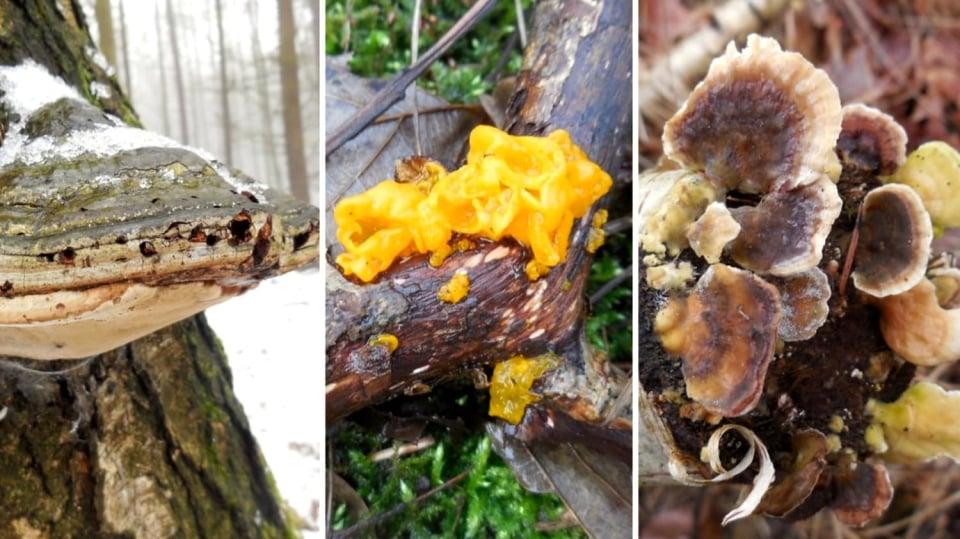 Posilování imunity houbařením? V únoru? Ano! Léčivých hub je teď plný les: březovník obecný,  rosolovka mozkovitá,  outkovka pestrá