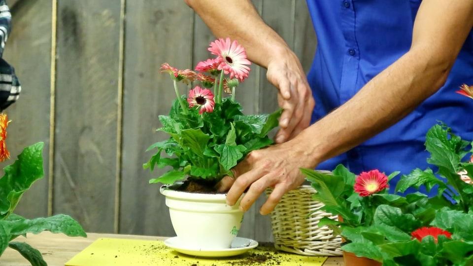 Barevné gerbery: Marnivé krásky v květináči 3