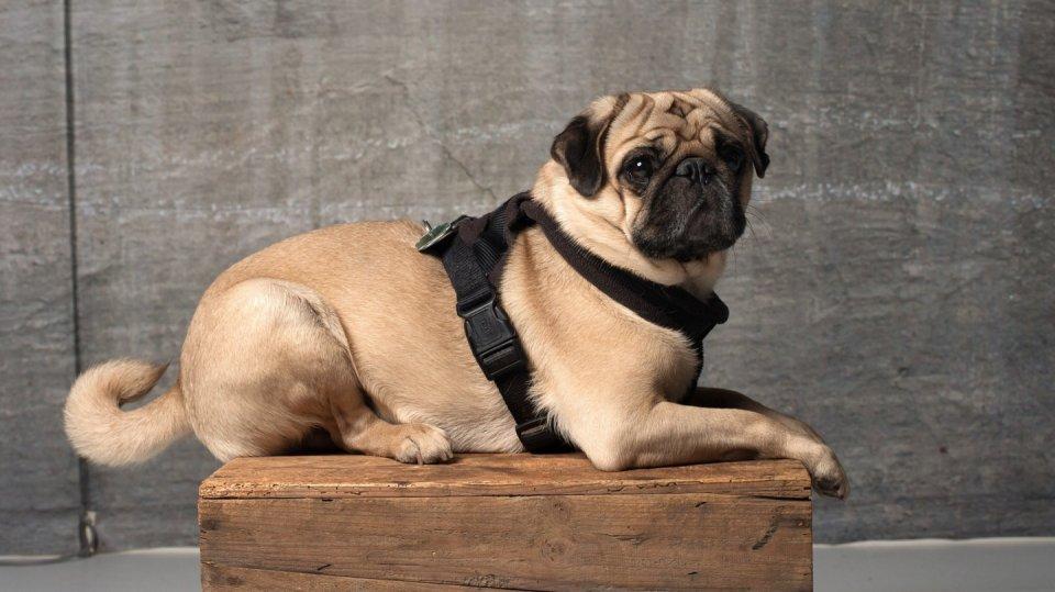 Mops: Přátelsky naladěný, klidný psík bez špetky agrese