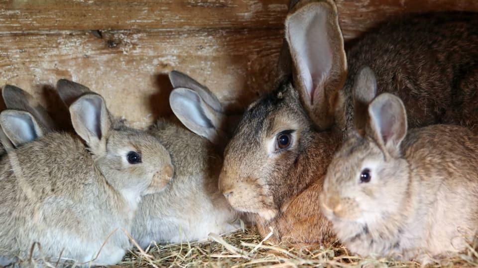 Jak vytvořit podmínky pro zdárný odchov malých králíčků 1