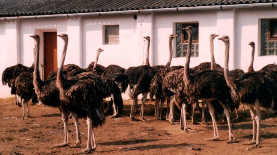 Pštros dvouprstý, emu hnědý a nandu pampový: Faremní chov běžců 3
