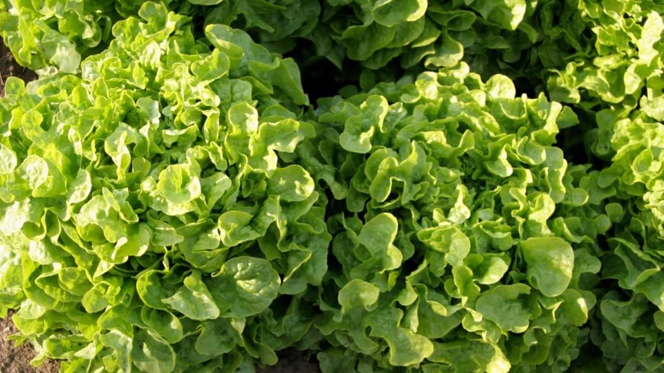 Listový salát Dubagold