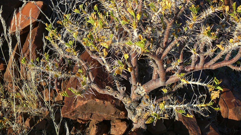 Myrhovník - biblická rostlina