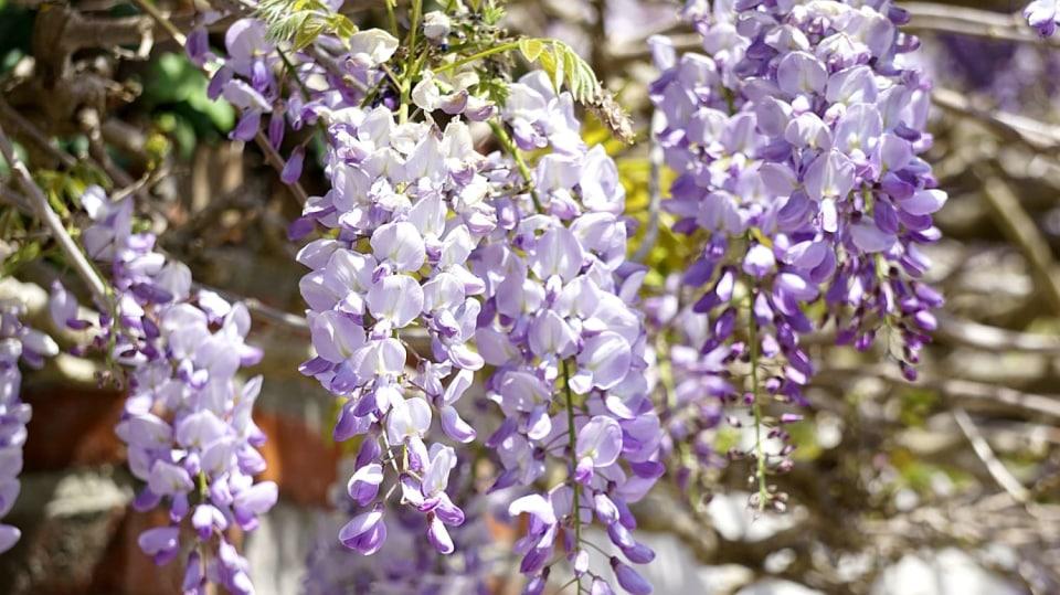 Fialové květy vistárie
