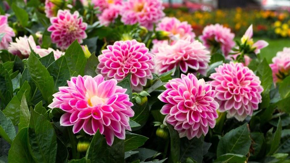 Jiřinky (Dahlia) zase za rok promění zahradu v moře květů