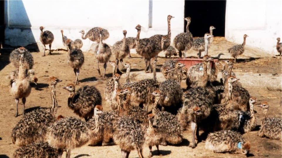 Pštros dvouprstý, emu hnědý a nandu pampový: Faremní chov běžců 2