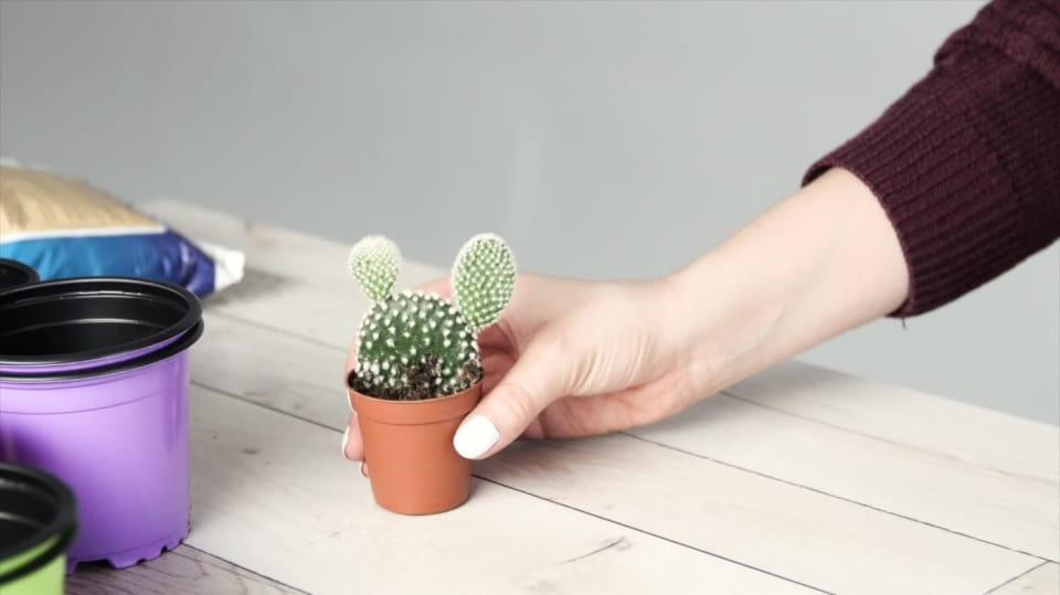 Přesazování kaktusu