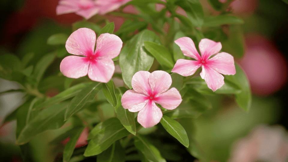 katarant růžový 1