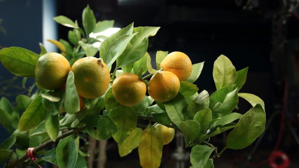 Mandarinky, pěstované v domácích podmínkách