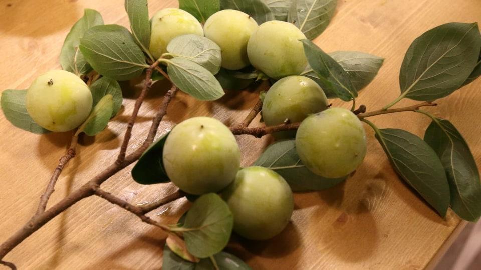 Tomel, exotický stromek, který plodí oblíbené ovoce, kaki 1
