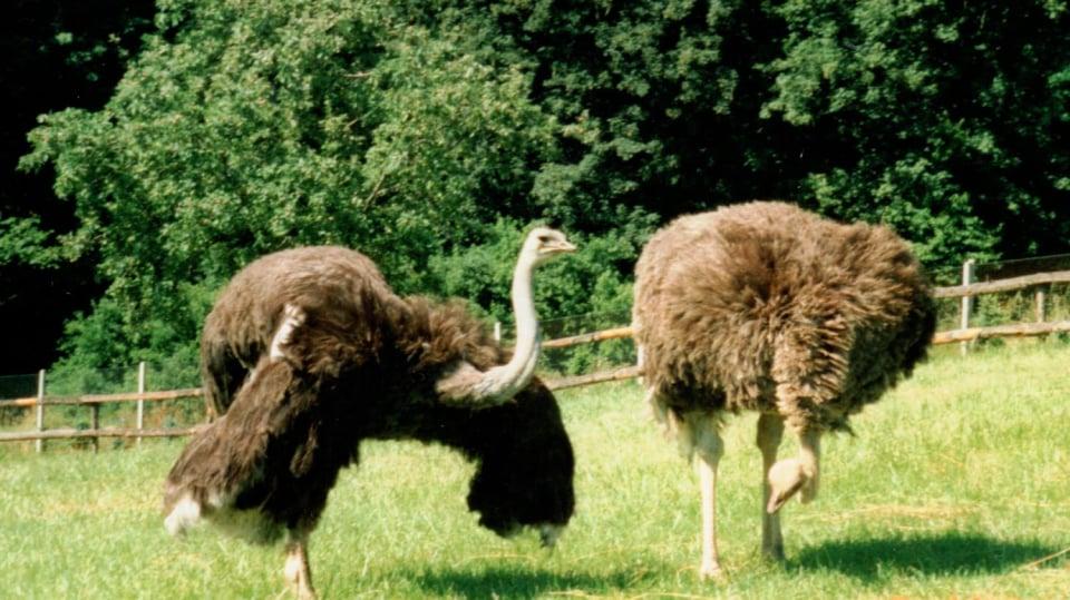 Pštros dvouprstý, emu hnědý a nandu pampový: Faremní chov běžců 4