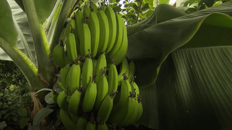Banánovník s plody