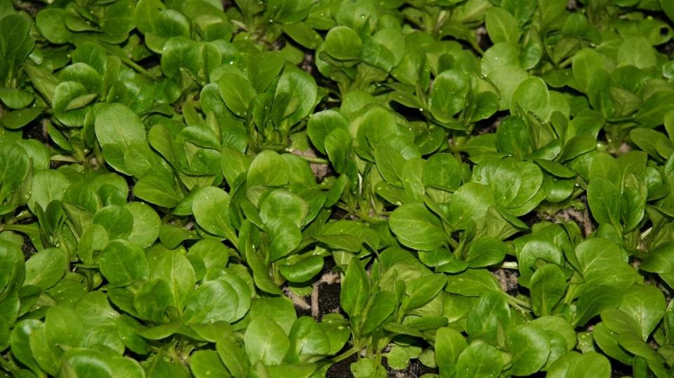 Jak vypěstovat čerstvou zeleninu v lednu: kozlíček polníček (Valerianella locusta)