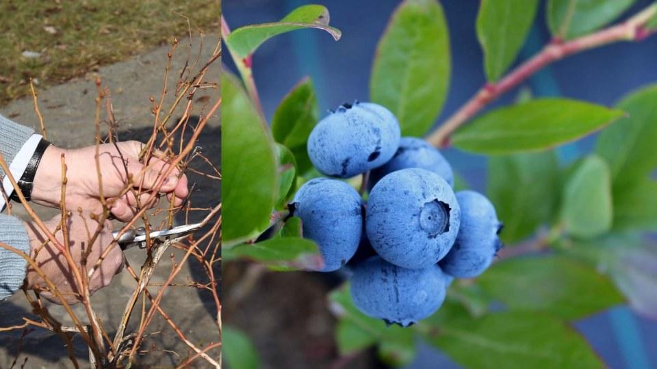 Kanadské borůvky: výsadba i jarní řez