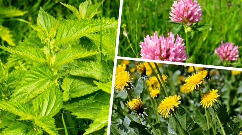 3 nejznámější byliny pro detoxikaci z našich luk a strání: kopřiva dvoudomá, pampeliška lékařská a jetel luční