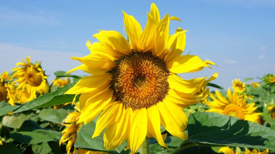 Jak a kdy se pustit do pěstování slunečnic 1