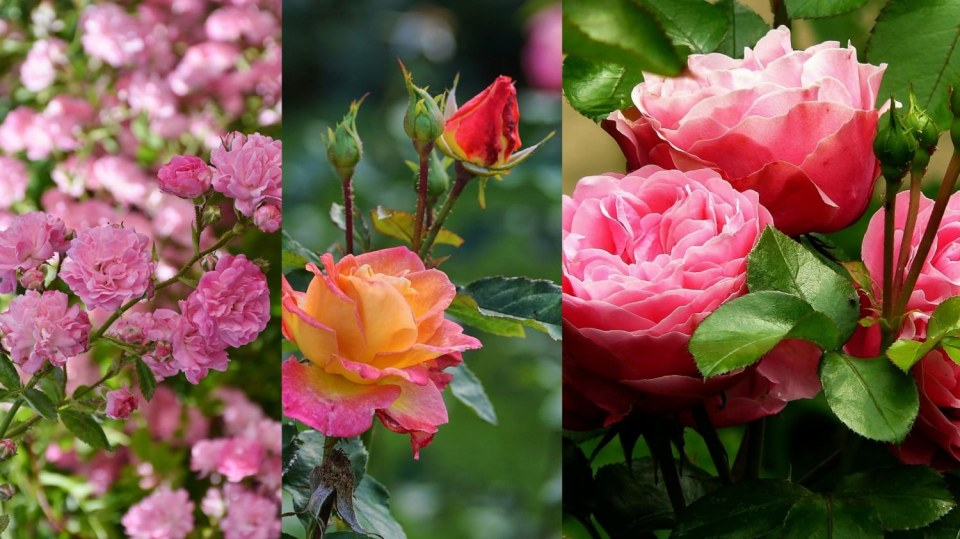 Jarní řez růží nastartuje jejich bohaté kvetení
