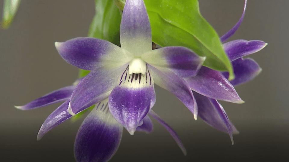 Modrá orchidej z Filipín